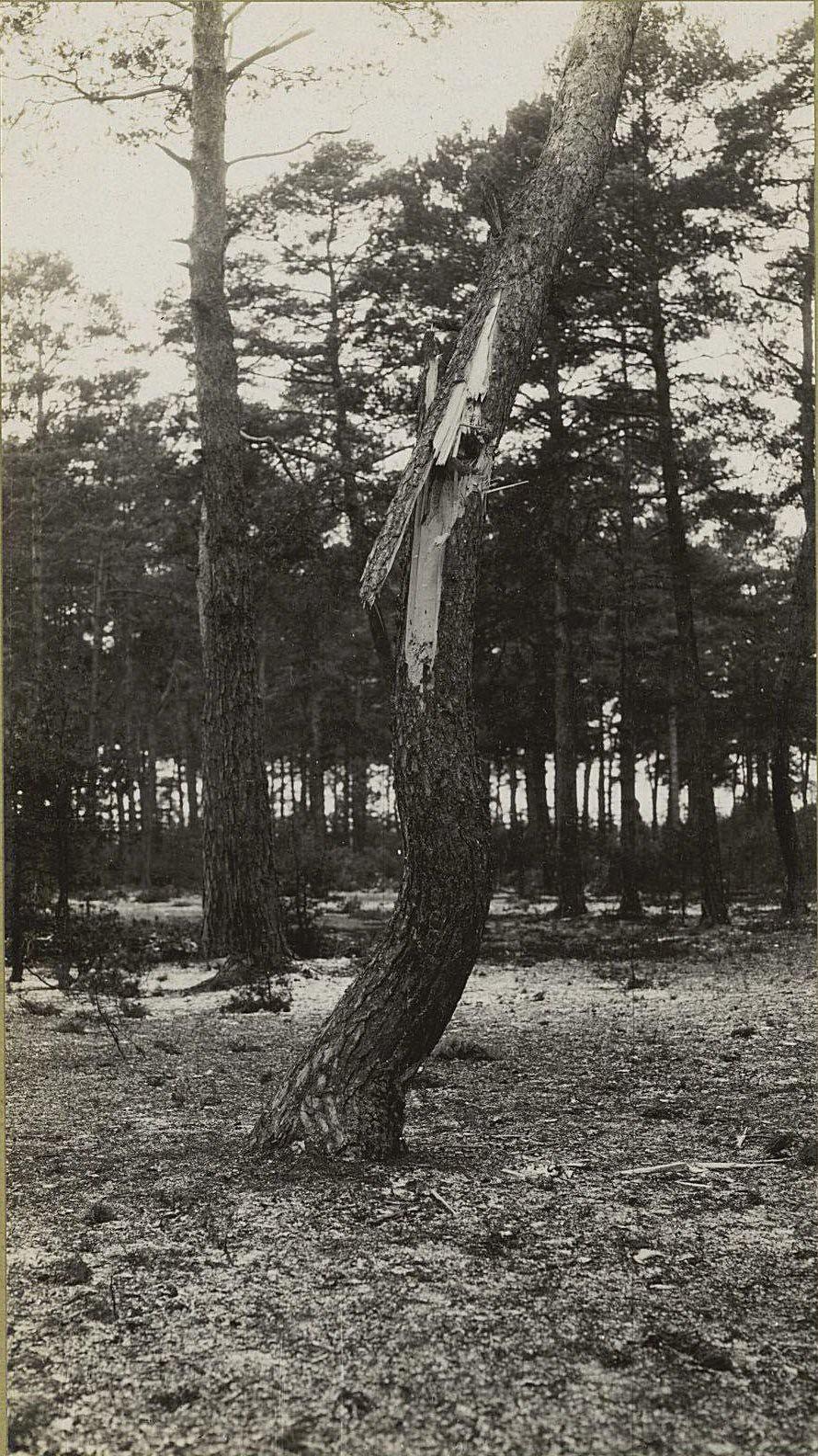 45. Дерево, пробитое германским снарядом