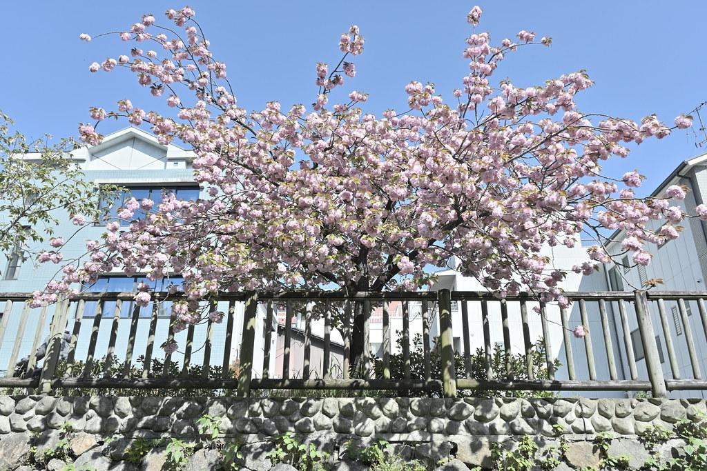 堀川遊歩道の桜並木 24