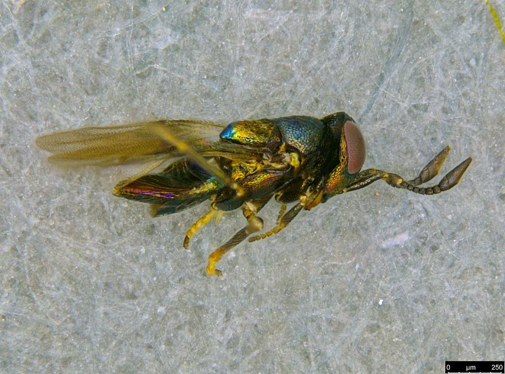 30d - Encyrtidae sp.
