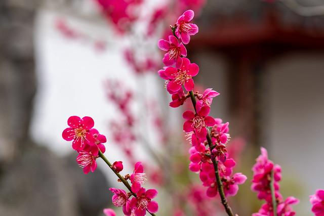 Berlin, Gärten der Welt, Chinesischer Garten: Blühende Ume am Wasserfall - Berlin, Gardens of the World, Chinese Garden: Blossoming Chinese plum next to the great waterfall