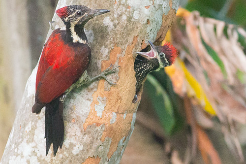 Red-backed Flameback - female