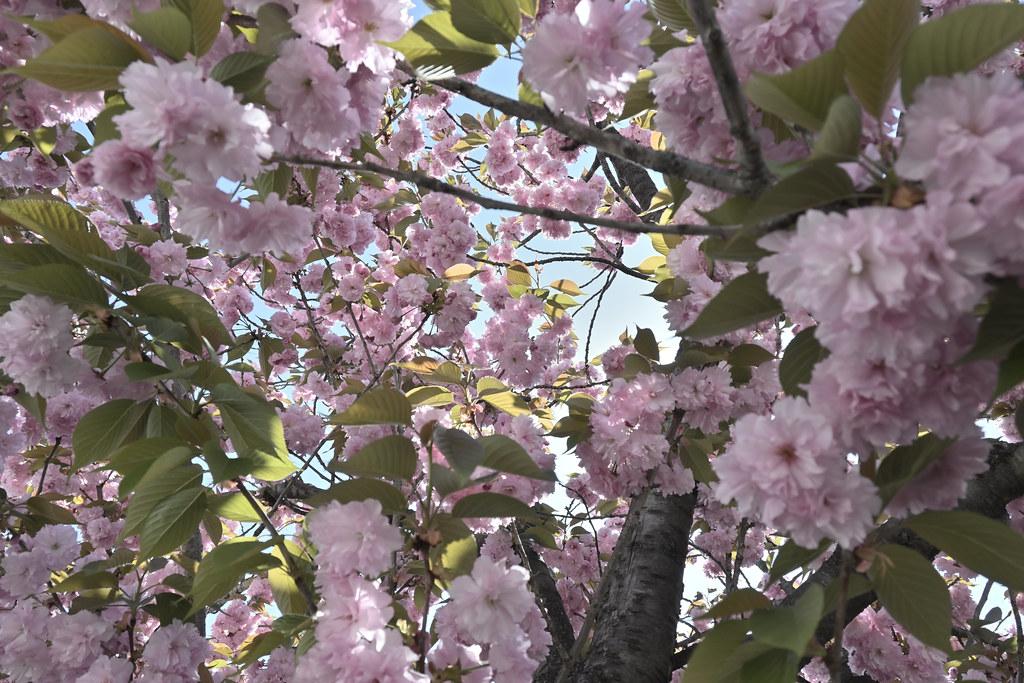 堀川遊歩道の桜並木 5