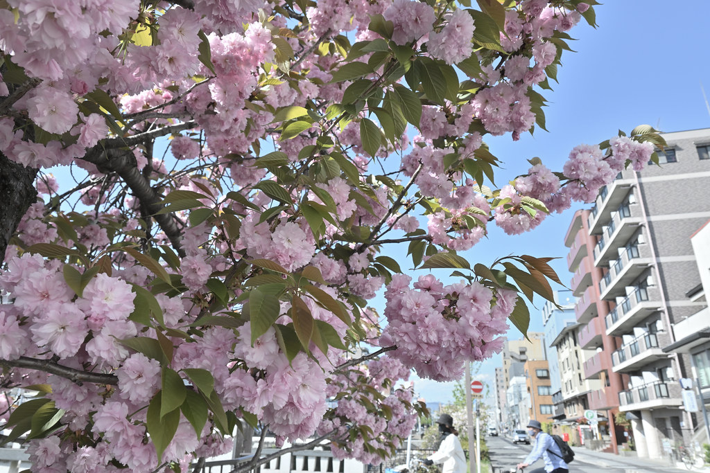 堀川遊歩道の桜並木 7