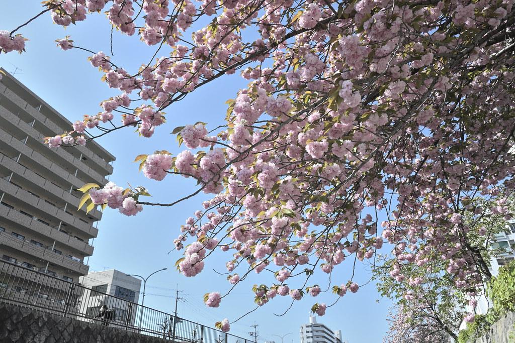 堀川遊歩道の桜並木 9