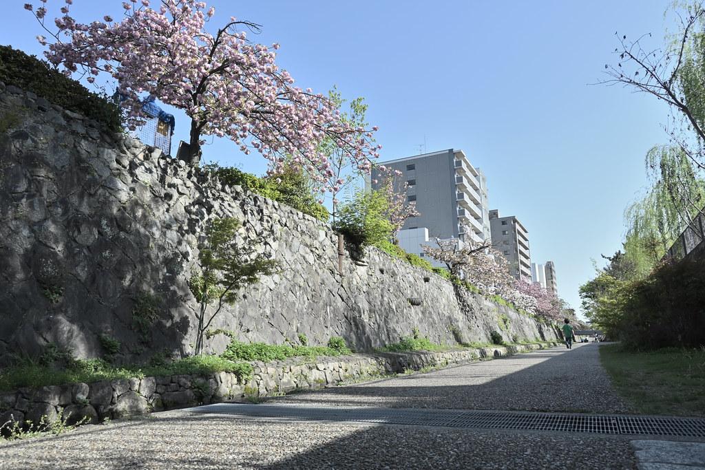 堀川遊歩道の桜並木 11