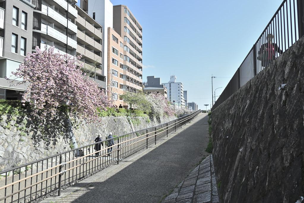 堀川遊歩道の桜並木 19