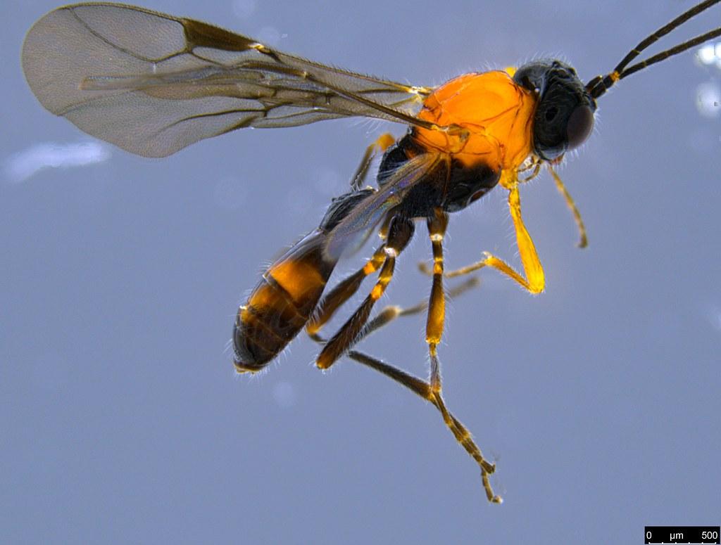 26b - Braconidae sp.