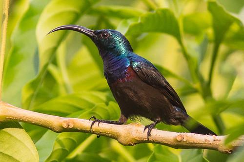 Loten's Sunbird  - male