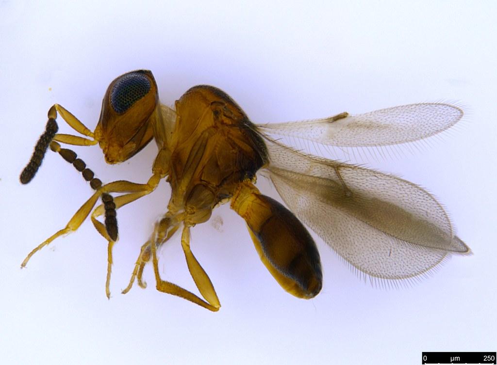 29 - Megaspilidae sp.