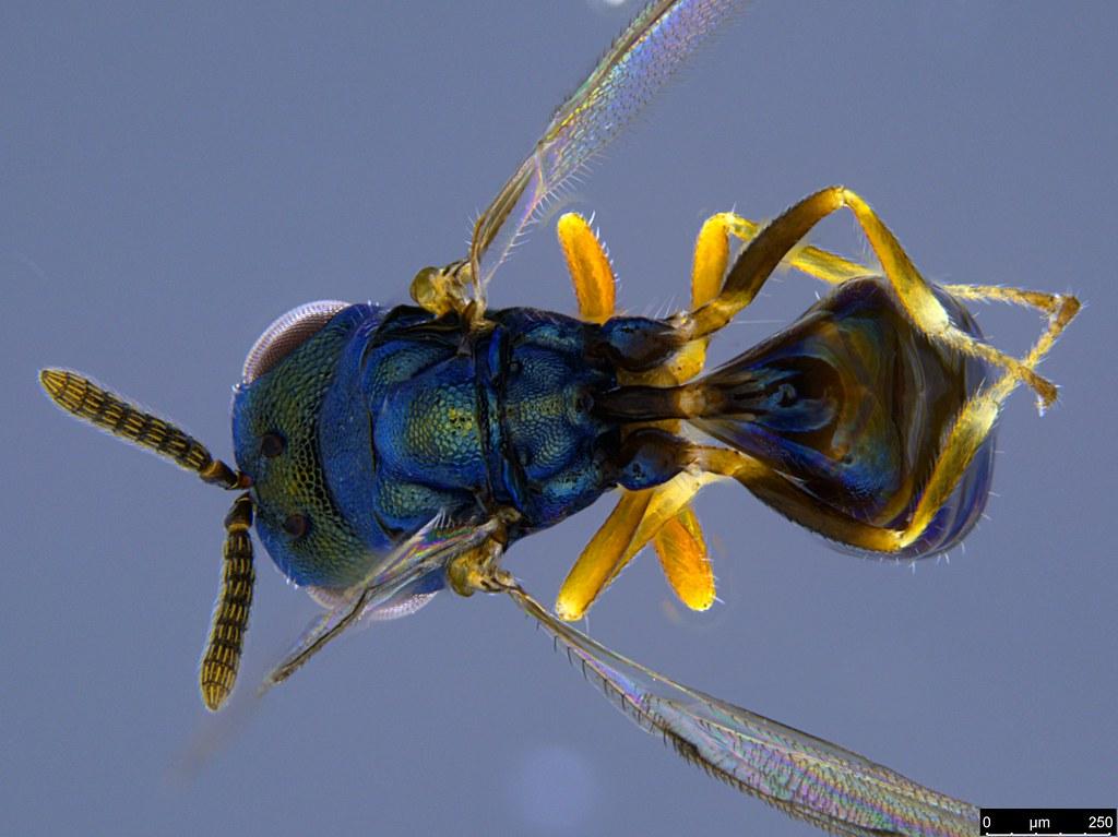 32b - Chalcidoidea sp.