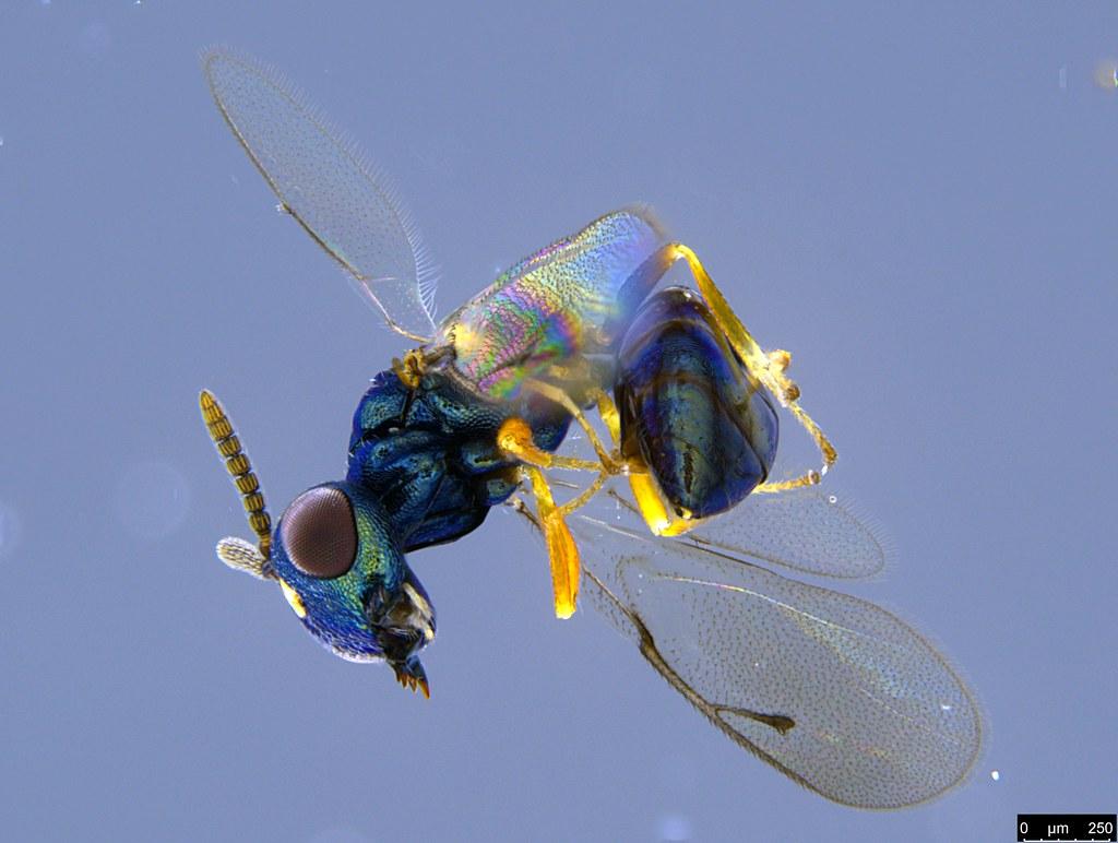 32c - Chalcidoidea sp.