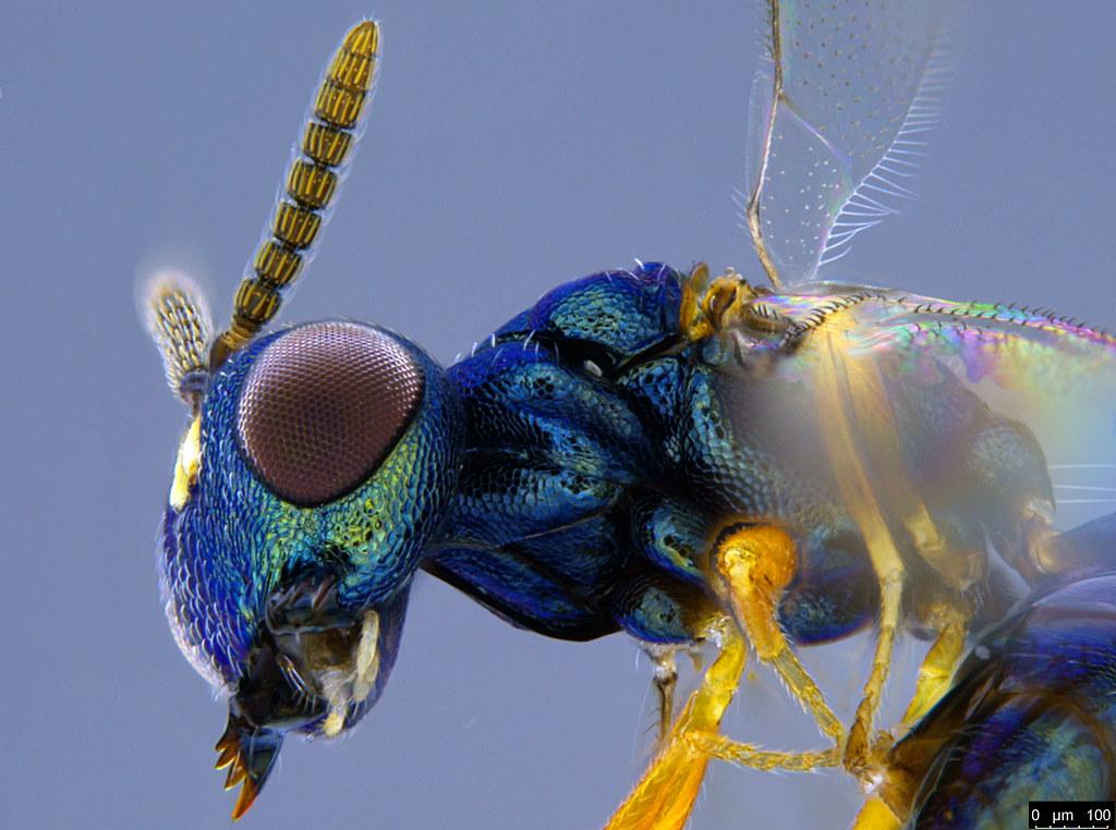 32d - Chalcidoidea sp.