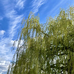 9. Aprill 2021 - 11:18 - Willow Tree