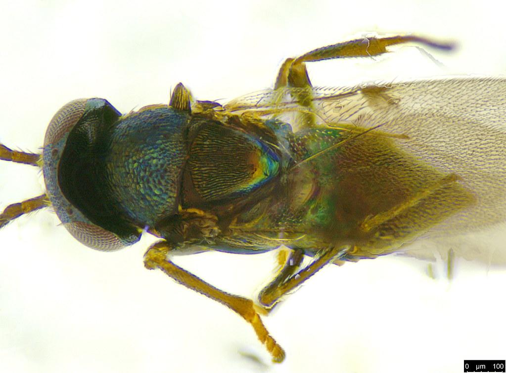 30b - Encyrtidae sp.