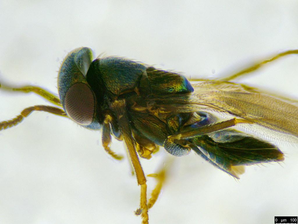 30c - Encyrtidae sp.
