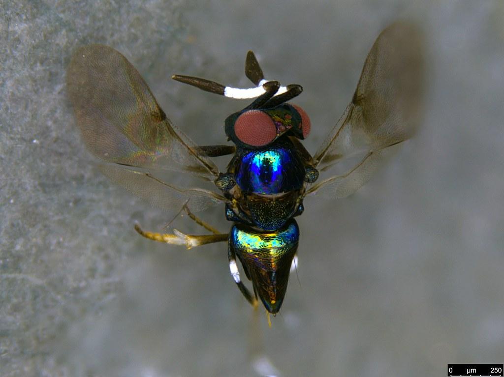 31c - Hymenoptera sp.