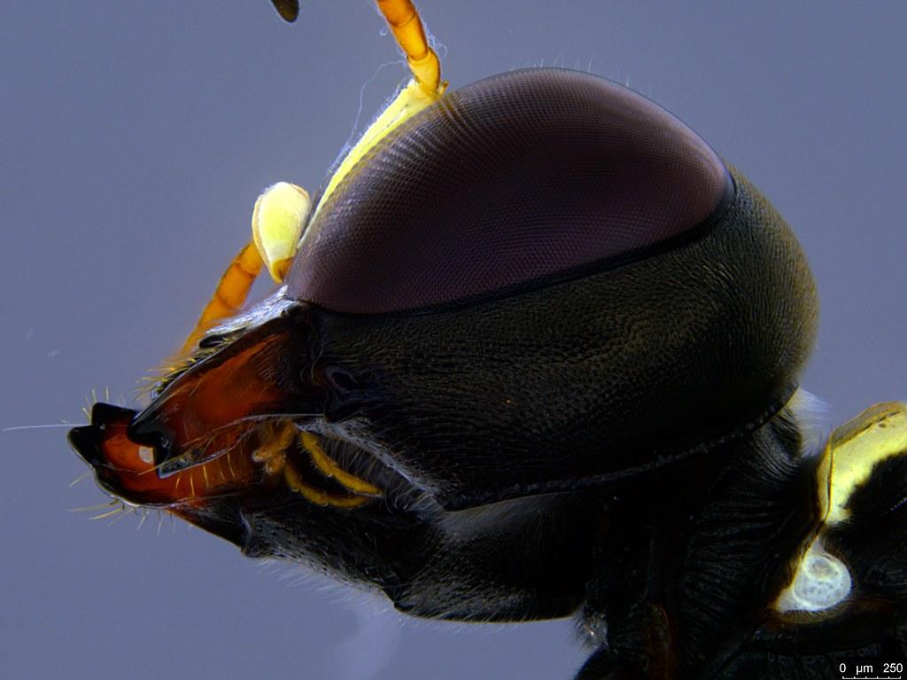 34c - Crabronidae sp.