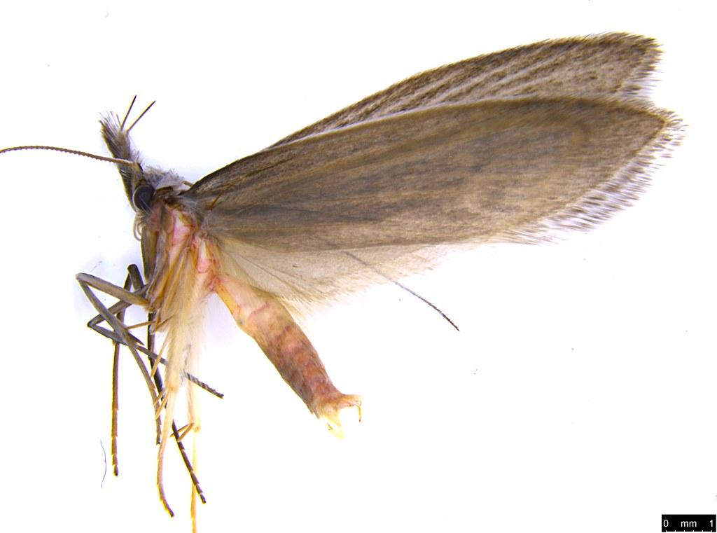 36a - Oecophorinae sp.