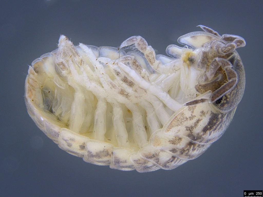 37b - Armadillidium vulgare Latreille, 1804