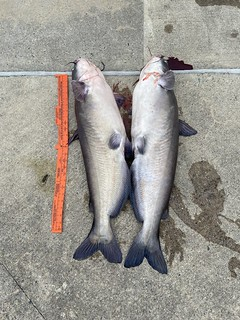 Photo of two blue catfish