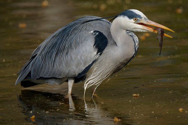 a Heron eating a catfish (4/4) - high resolution (6K)