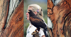Triptych of Madrone arbutus trees with red bark with a woman holding a Harris's Hawk in Arizona, USA