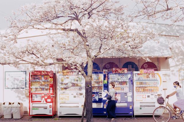 Sakura on film_Cherry blossom 2021