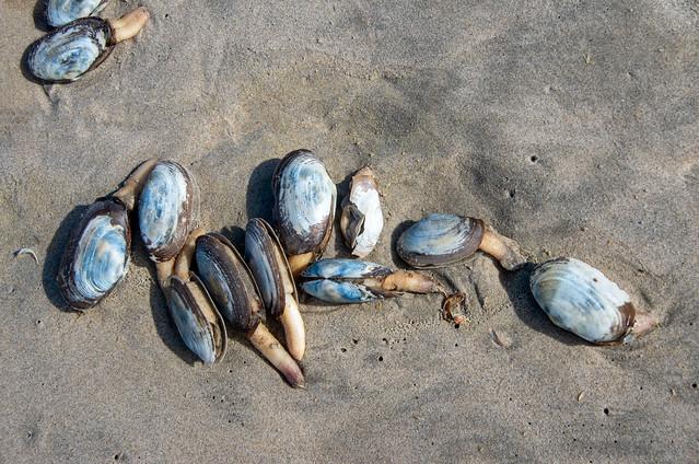 sand gapers aka piemelschelpen