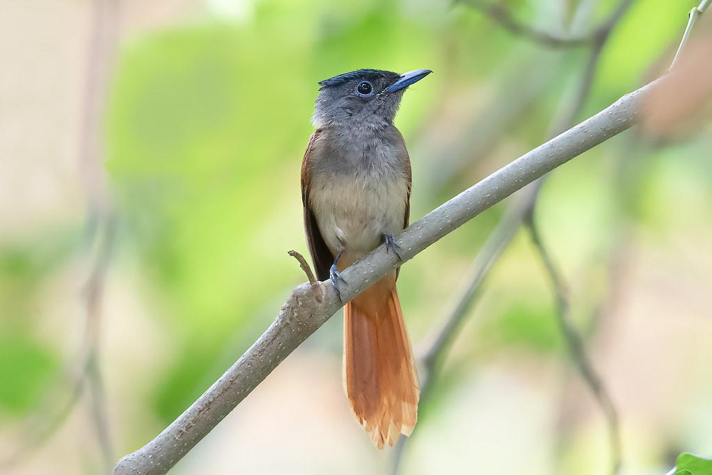 A Pretty Rare - Blyth's Paradise Flycatcher