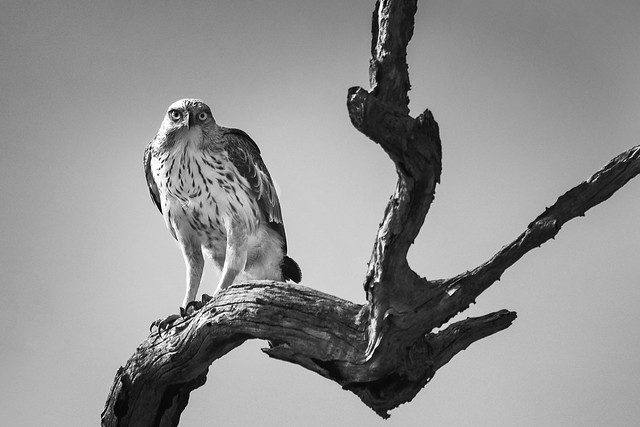 Crested Hawk - Eagle