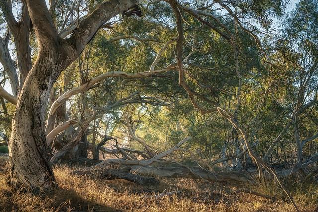 Yarriambiack Creek Trees
