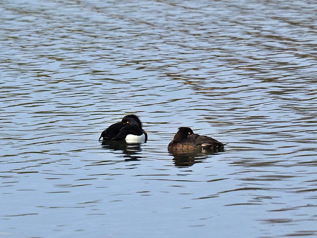tufted ducks with a temporary disagreement ;-)