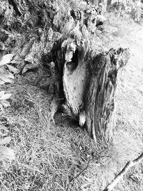 Interesting tree stump , remanents near Mazinaw Lake in Bon Echo Provincial park , on HWY. ON. 41 , Cloyne , Ontario , Canada , photograph converted to black and white , Martin's photographs , September 6. 2019
