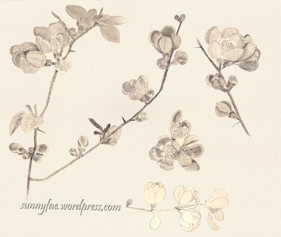 pencil sketch of orange quince flowers