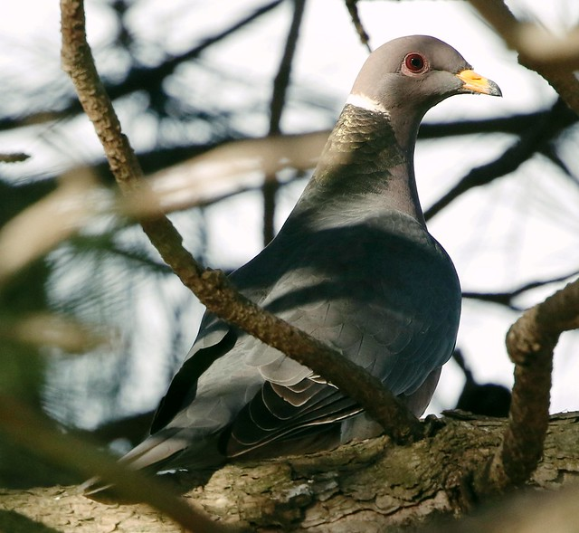 _87A6275 Band-tailed Pigeon