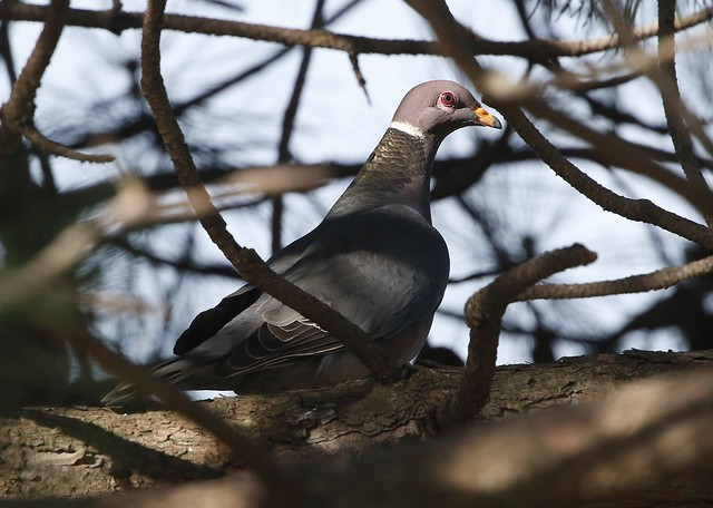 _87A6265   Band-tailed Pigeon