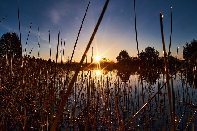 Reeds, sunrise