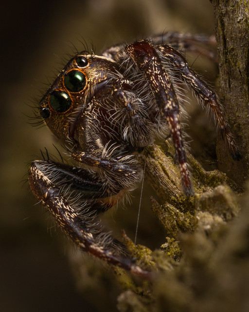 Hiding Jumping Spider