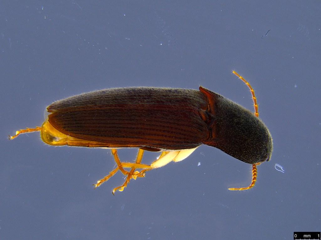 6a - Glyphochilus sp.