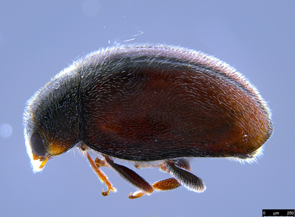 7a - Coccinellidae sp.