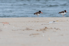 This couple was looking for nesting ground near by