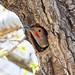 nesting_northern_flicker-20210412-107