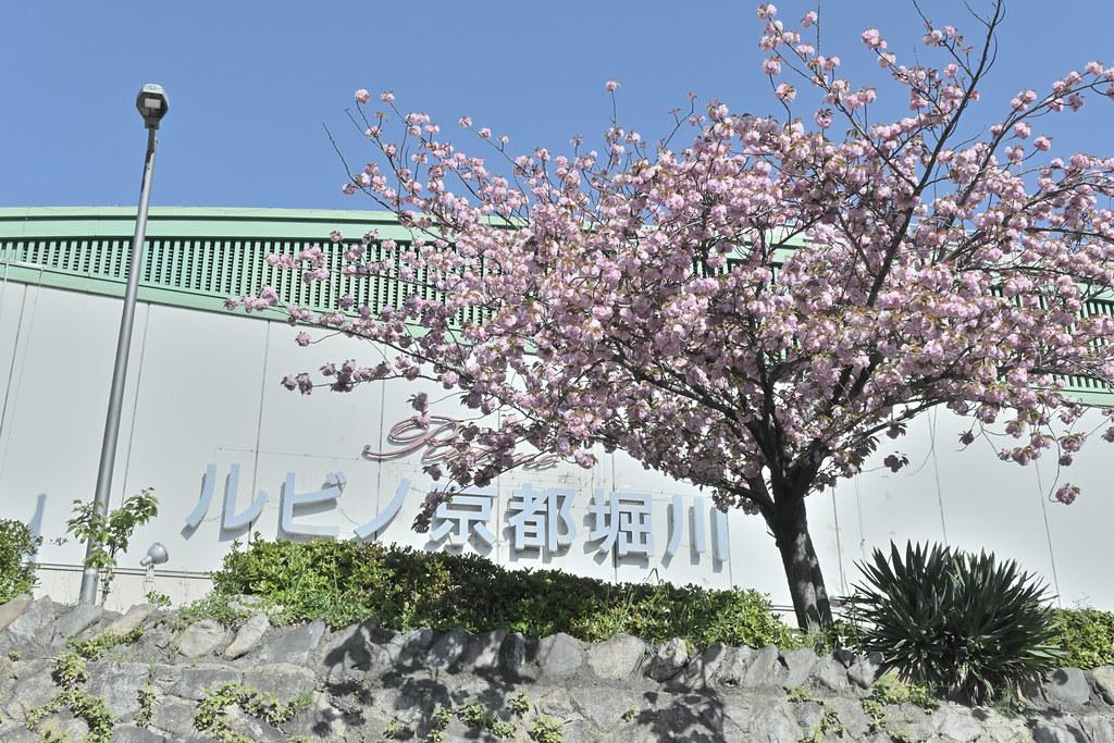 堀川遊歩道の桜並木 2