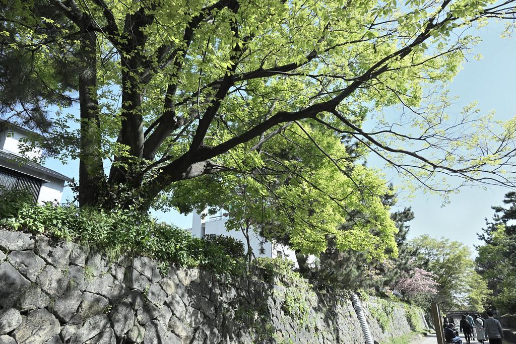 堀川遊歩道の桜並木 4