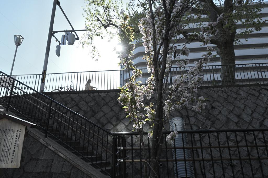 堀川遊歩道の桜並木 8