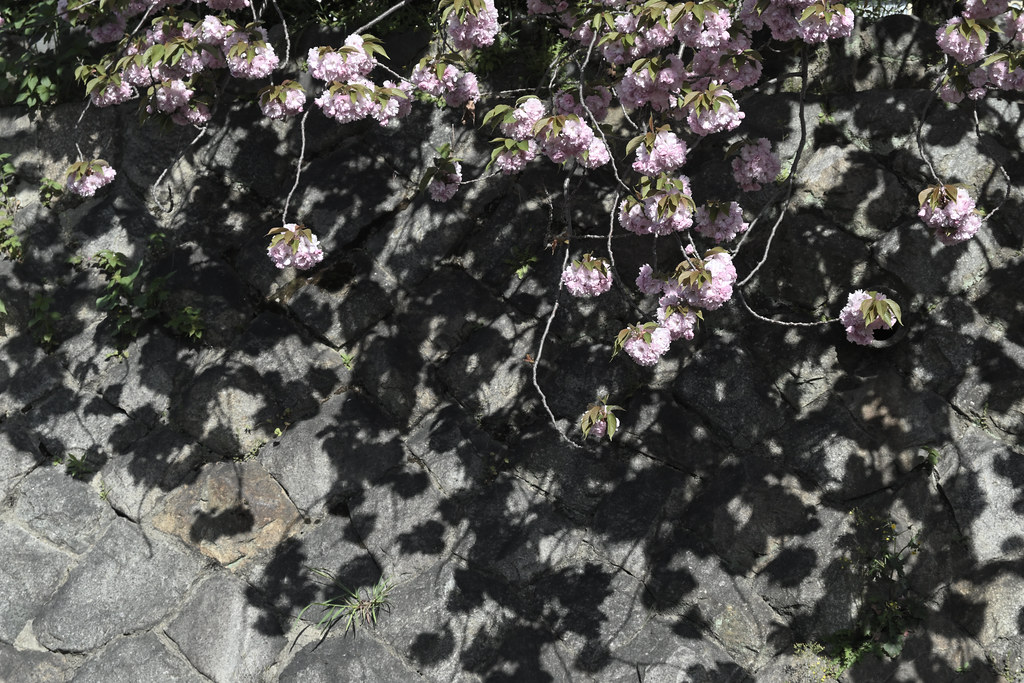 堀川遊歩道の桜並木 16