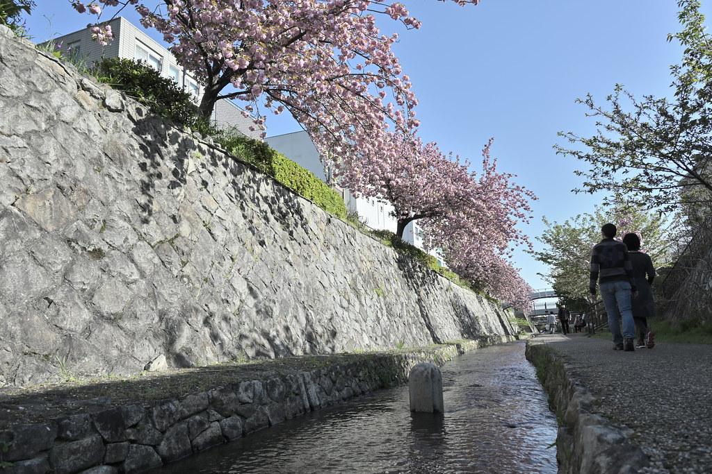 堀川遊歩道の桜並木 17