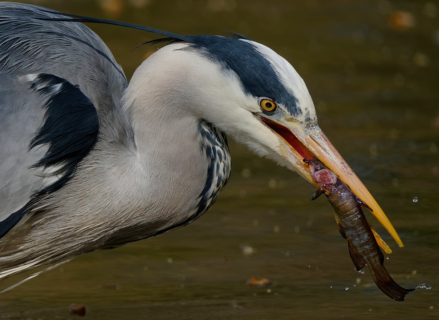 a Heron eating a catfish (3/4) - 100% cropped view