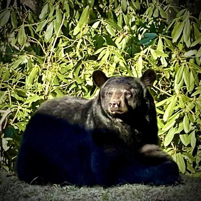 Mama Bear at Rest