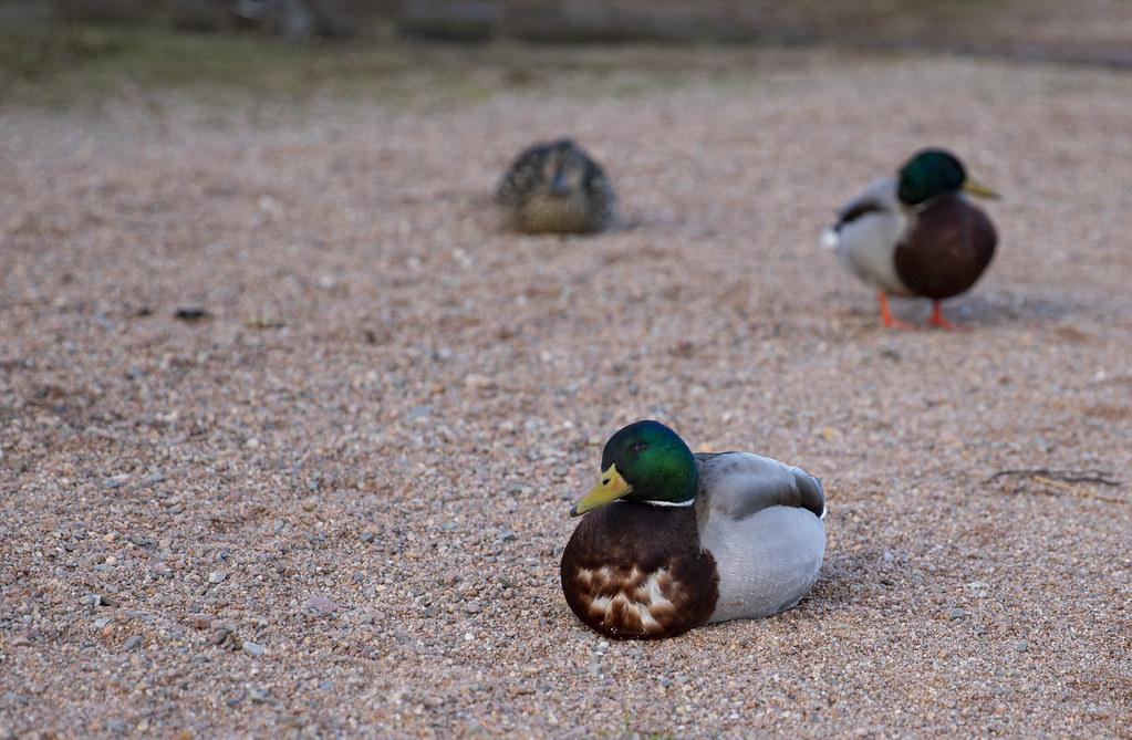 Suggestive duck
